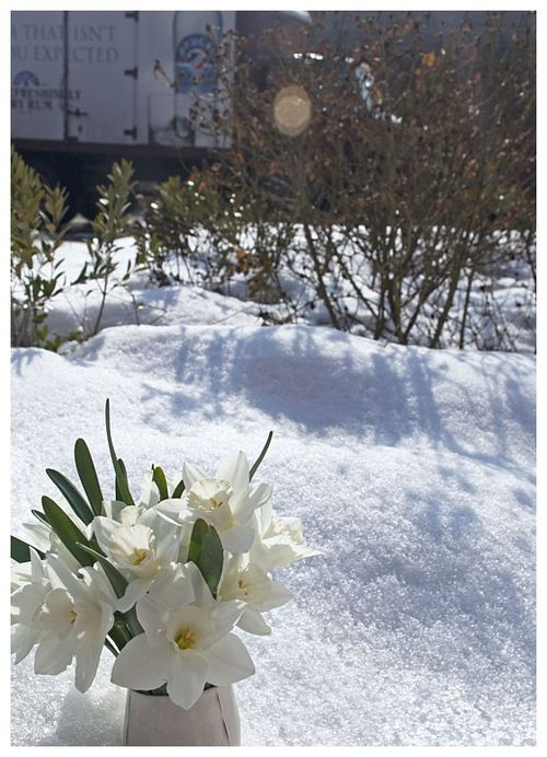Daffs in snow_DSC0324